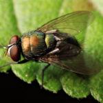 2 mẹo diệt ruồi vĩnh viễn trong nhà
