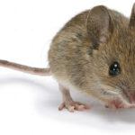 Mẹo diệt chuột an toàn không cần đánh bả