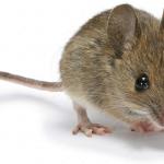 Diệt và kiểm soát Chuột