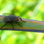 Ruồi và những bệnh truyền nhiễm do ruồi gây nên