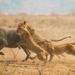 Trâu rừng mang thai chết thảm dưới móng vuốt sư tử