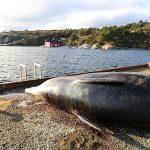 Túi nylon đầy ắp trong bụng cá voi dạt vào bờ biển Na Uy