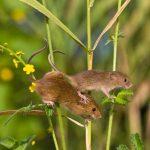 Các loài chuột phổ biến ở Việt Nam hiện nay