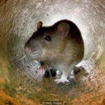 Nơi duy nhất trên Trái Đất người không phải sống với chuột